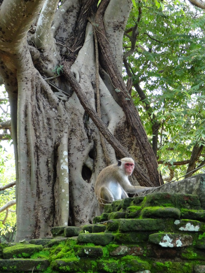 A Polonnaruwa monkey looking out over the ruins