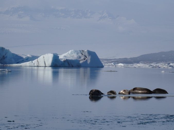 Seals and icebergs in Jökulsárlón glacial lagoon, Vatnajökull National Park, Iceland
