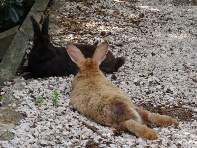 Big fluffy rabbits on Lokrum Island, Dubrovnik