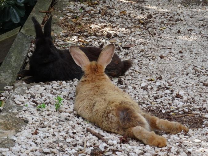 Big fluffy rabbits on Lokrum Island, Dubrovnik