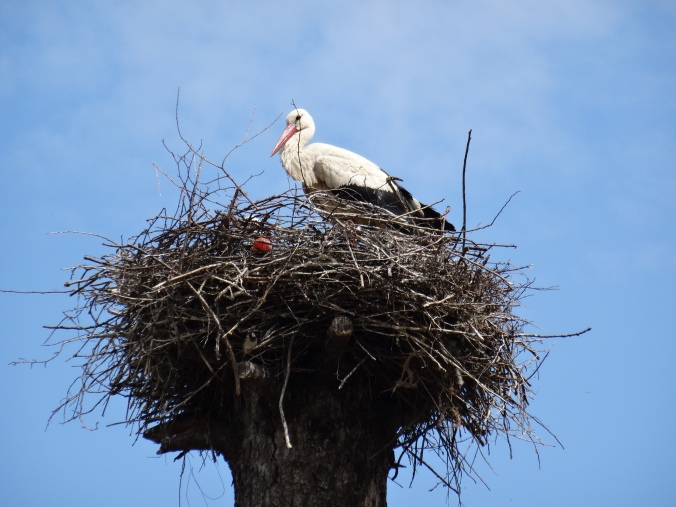 A stork nest on a telegraph pole, Romania