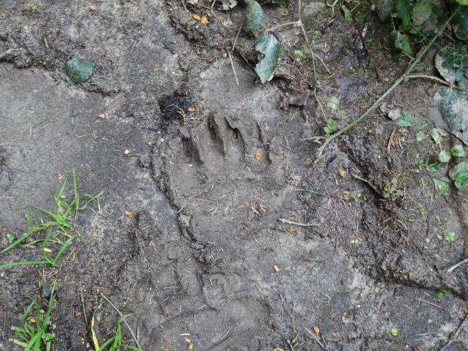 Bear paw print, Romania