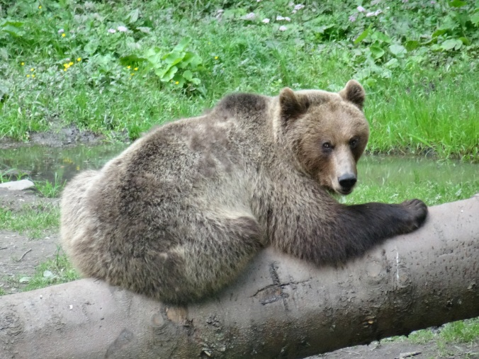 Big male brown bear at a hide near Brasov, Romania