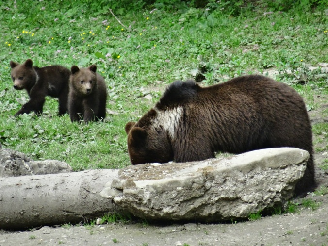 Mother brown bear and cubs at a hide near Brasov, Romania