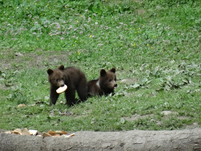 Brown bear cubs near Brasov, Romania