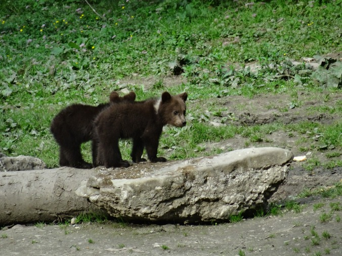 Brown bear cubs, Brasov, Romania