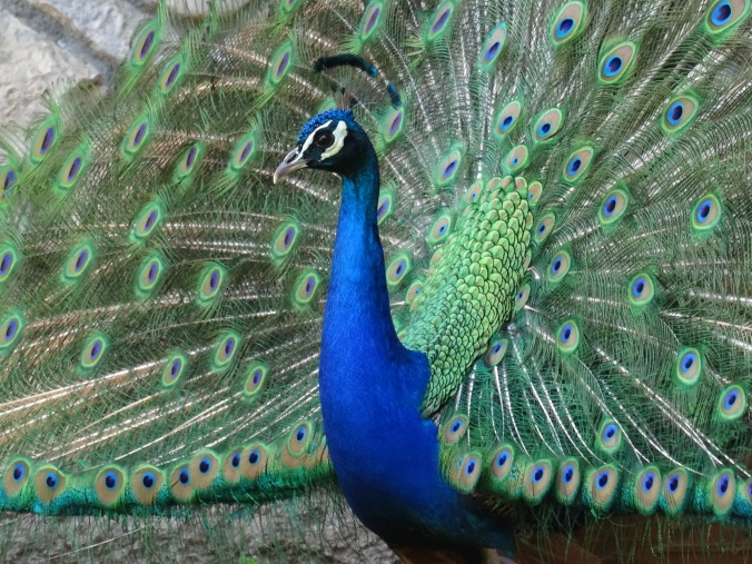 A peacock at St Naum Monastery