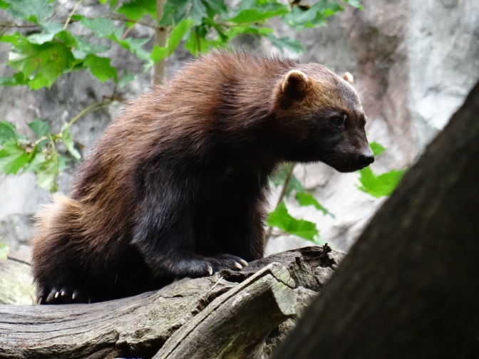 A wolverine at Skansen