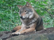A wolf at Skansen