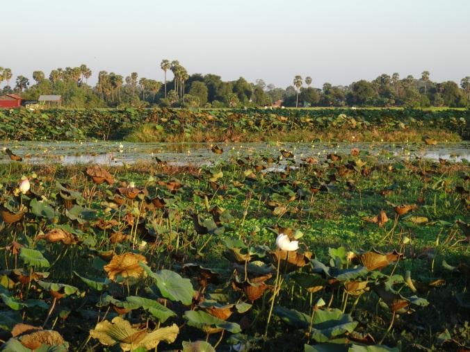 Lotus garden setting for sunset yoga at Preah Garden