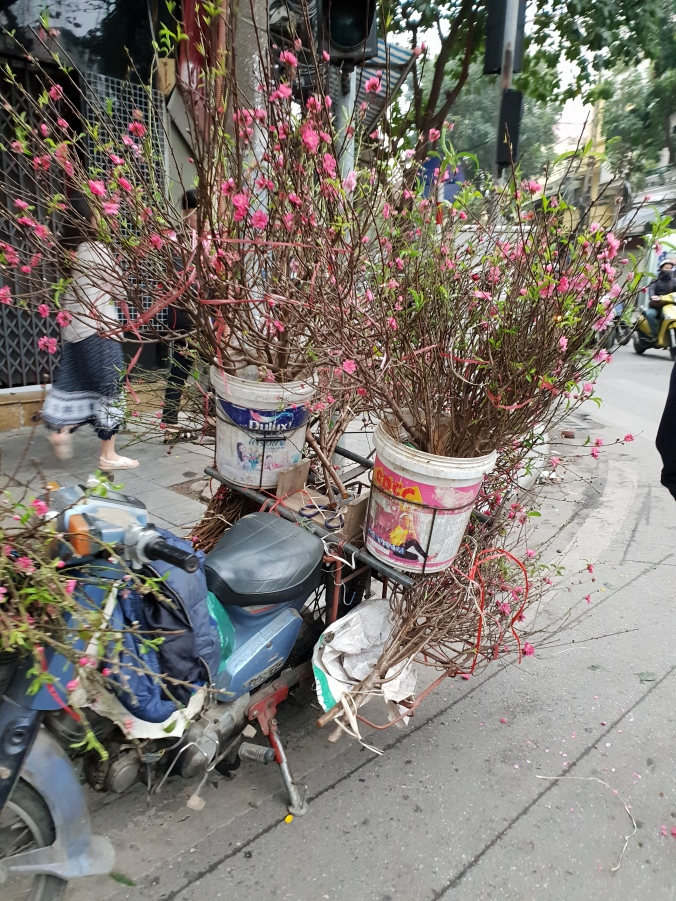 Lunar New Year preparations in full swing in Hanoi - blossom and orange trees being taken home to decorate