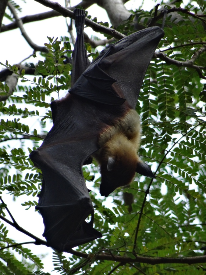Fruit bat Colombo