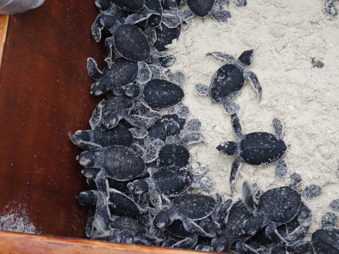 Baby turtles ready for the ocean