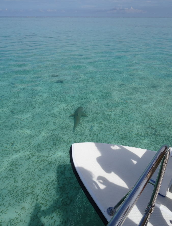 Shark spotted on Amanpulo snorkel trip